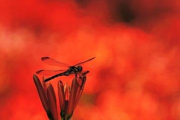 Bỉ ngạn hoa: Sự quyến rũ khó cưỡng
