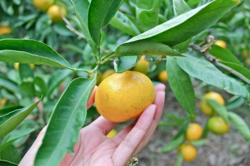 เก็บส้มมิกันที่สวนซึตกุอิฮะมะ