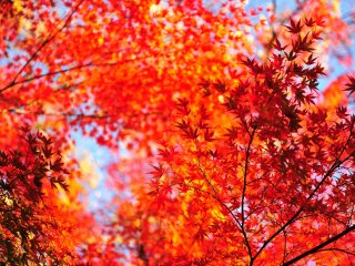 What a wonderful gradation of red leaves and blue sky!