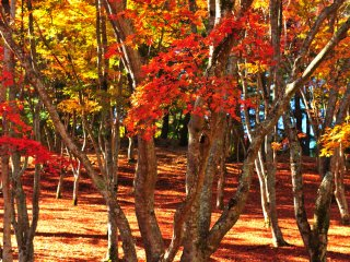 Brilliant maple leaves in the forest under the morning sunshine