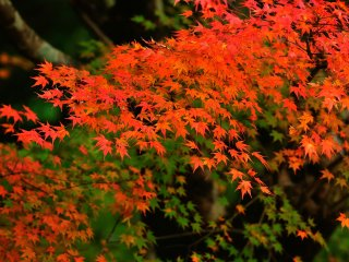 In autumn, leaves change color from green to vermilion