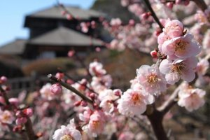 Kobuntei amid the spring plum blossoms