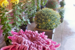 A more traditional chrysanthemum display