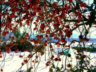 오렌지 빛 감을 주렁주렁 단 감나무 가지가 아래로 휘청이고 있다.