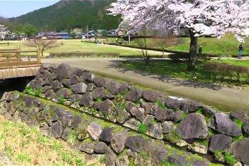 ดอกซากุระที่ซากปรักหักพัง Asakura