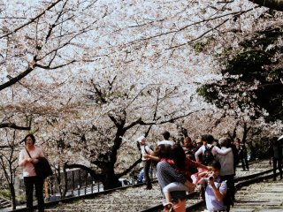 Not many places in the world have the train tracks hidden, yet again, in a tunnel of cherry blossoms.