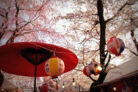 As Flores de Cerejeira de Quioto
