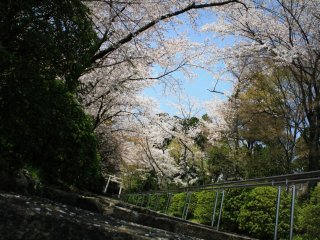 Plenty of cherry trees to take pictures of ...