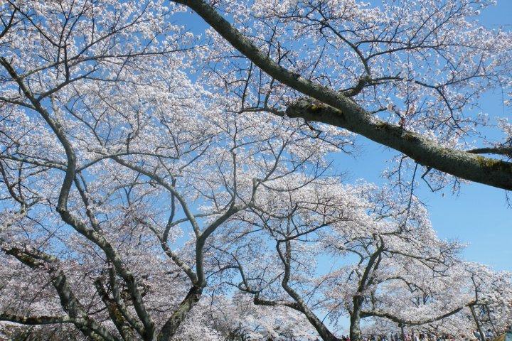 Hanami at Mikamine Park