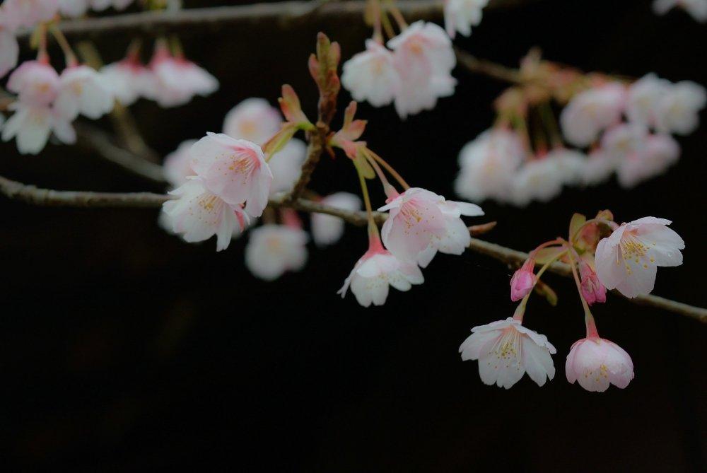 ดอกของฮะชิซุกะ-ซากุระ (Hachisuka-Sakura) ดูสง่างามกว่าดอกกัน-ซากุระ (Kan-Sakura)
