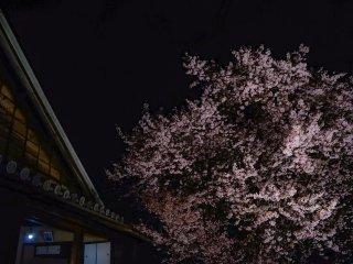 บ้านซามูไรกับต้นซากุระเก่าแก่
