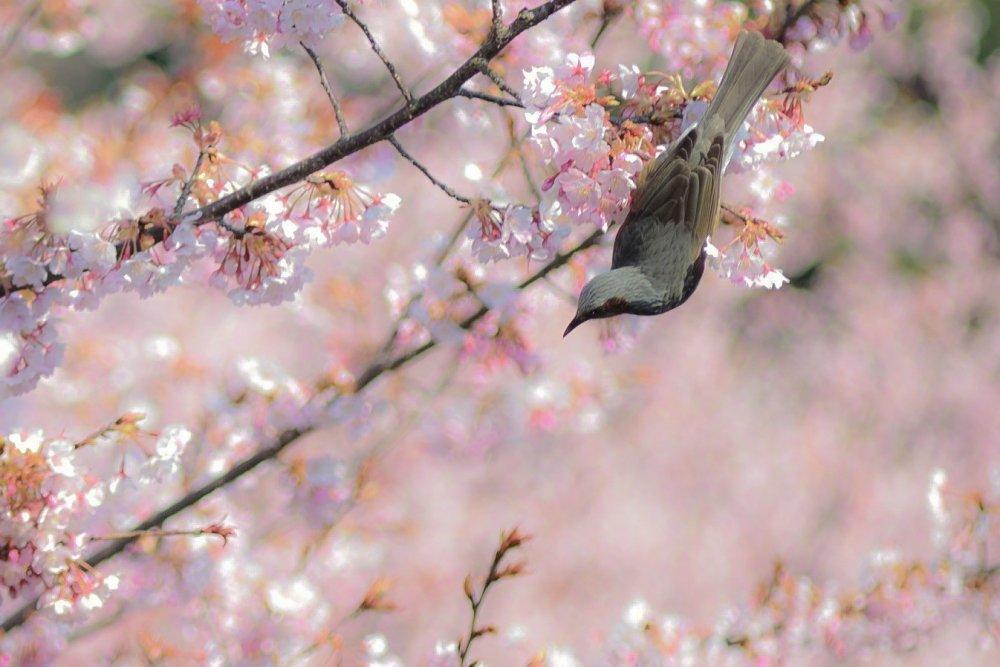 ในสวน Tokushima Central Park สวนของปราสาท มีต้นฮะชิซุกะ-ซากุระ (Hachisuka-Sakura) อยู่หลายต้น