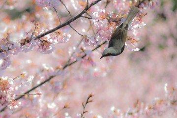 原田家の蜂須賀桜