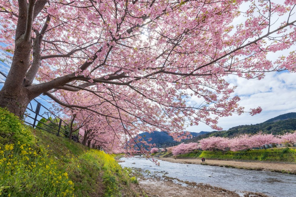 The cherry blossoms at the Kawazu sakura festival are beautiful, and fill your eyes with pink in all directions.