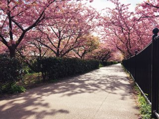 A morning walk beneath the blossom is a great way to start the day!