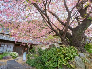 This is the original Kawazu cherry blossom tree. It dates back many decades to post war Japan.