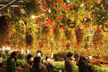 สวน บีโกเนีย ที่นาบานาโนะซานโตะ
