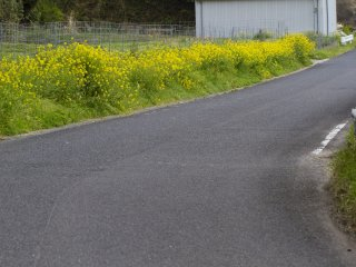 Great swaths of the rapeseed blossoms line roads