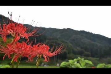 ดอกลิลลี่แมงมุมที่ซากอะสะกุระ