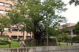 Ishiwarizakura, the Rock Splitting Cherry Tree in Morioka, a national treasure
