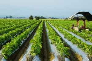 Tabacco Farming