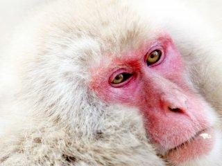 ลิงพวกนี้กินธัญพืชเป็นอาหารกลางวัน และในบางครั้งเมล็ดพืชต่างๆ ก็ติดอยู่บนขนของพวกมัน