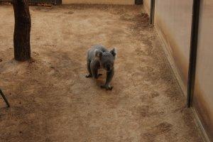 Koala au Zoo de Higashiyama à Nagoya