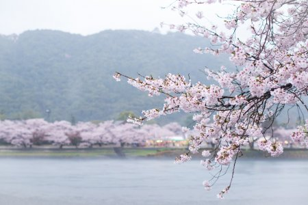 Kintaikyo Cherry Blossoms
