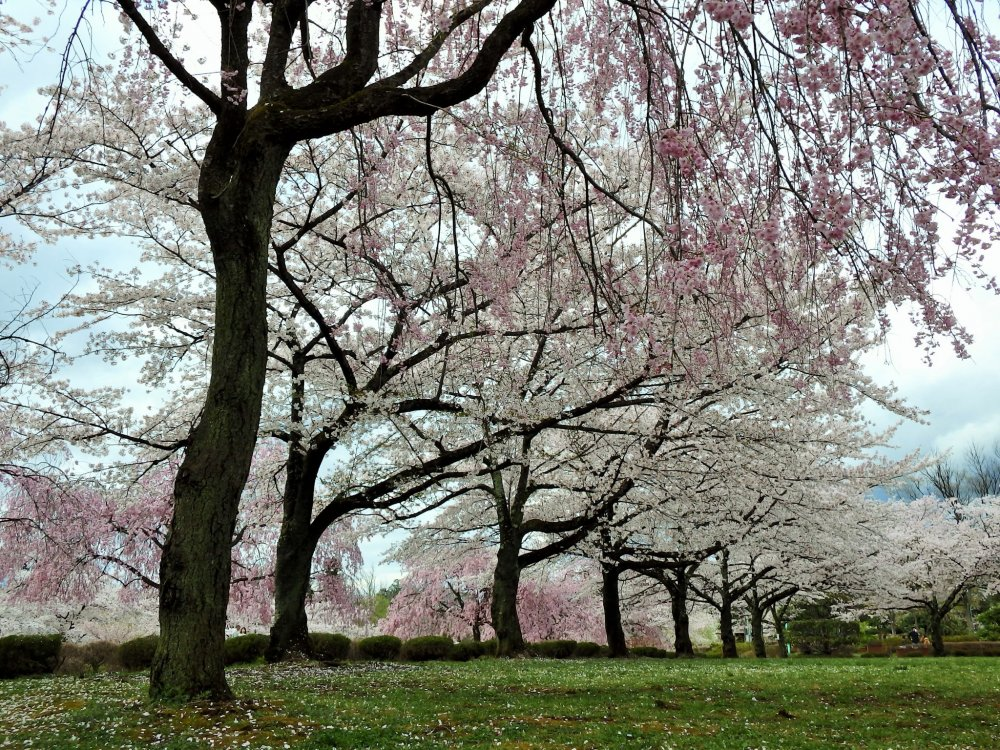 The cherry trees bloom every year from the end of March to early April.