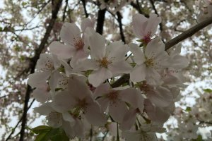 Close up of sakura flower