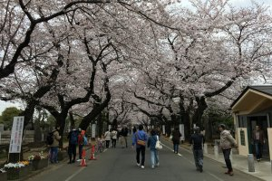 Yanaka Cemetery - 10mins walk from Ueno Park, the sakura lined lane runs right through the cemetery