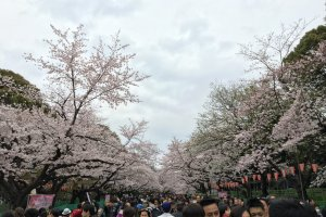 Ueno Park - popular for its avenue of cherry blossoms