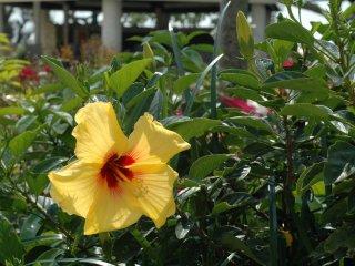 Esta flor de Okinawa pode ser encontrada nos muito bem tratados jardins do Hotel Breeze Bay Marina