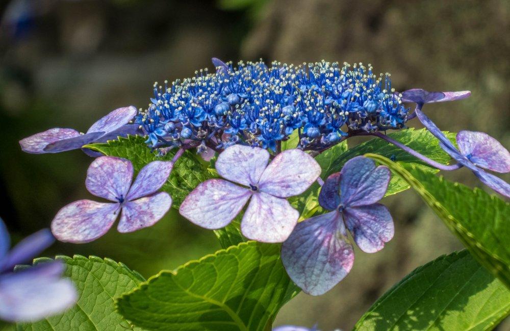 Desde finales de mayo a junio este apacible parque tiene muchas hortensias llenas de color