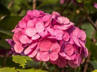 Estas bellas hortensias rosadas contrastan muy bien con las azules que son más comunes