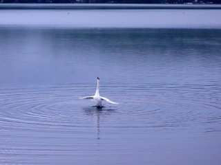 The swans at Lake Yamanakako seemed most active around dawn, preening feathers, bleating or diving for food