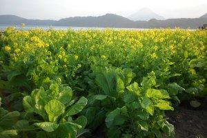 Rape Plants Partial Bloom
