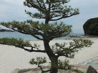 Beautiful pine trees on the beach