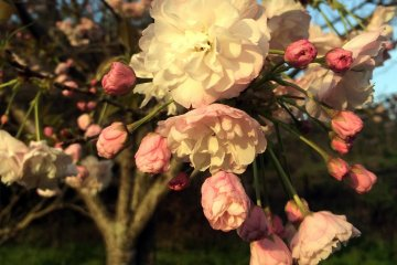 텐지야마 공원의 사쿠라- Part 2