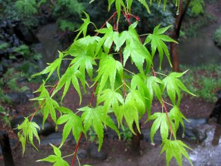 모미지 잎들