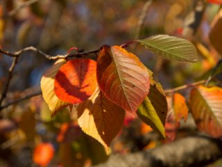 Cherry tree leaves are different: green, yellow, orange and brownish colours can be found