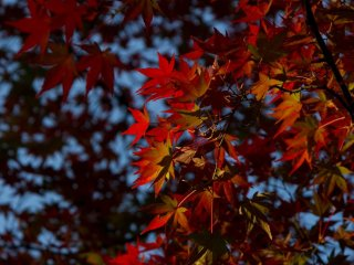 Vivid red colours of a maple tree