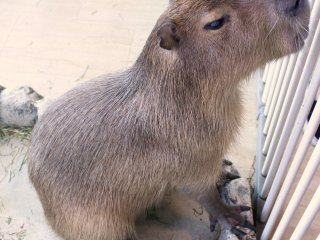 A capybara at Tempozan Marketplace's animal theme park.