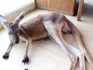 Kangaroo at the Tempozan Marketplace animal theme park.