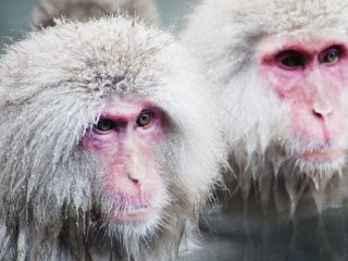 The monkeys are known for bathing in a natural onsen