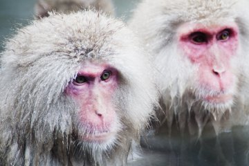Jigokudani Yaen-Koen's Snow Monkeys
