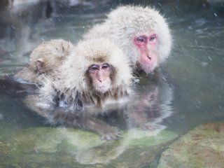 Japanese macaques are highly social animals