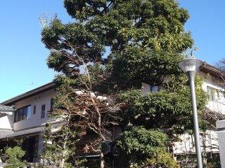The big tree near the main hall