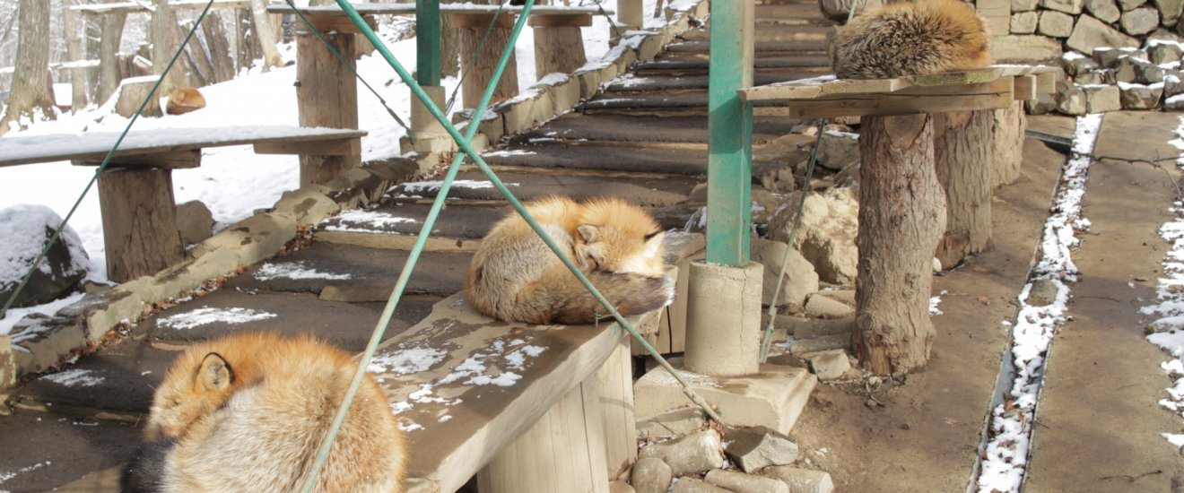 Usually you can see the foxes napping around the complex in many different location.