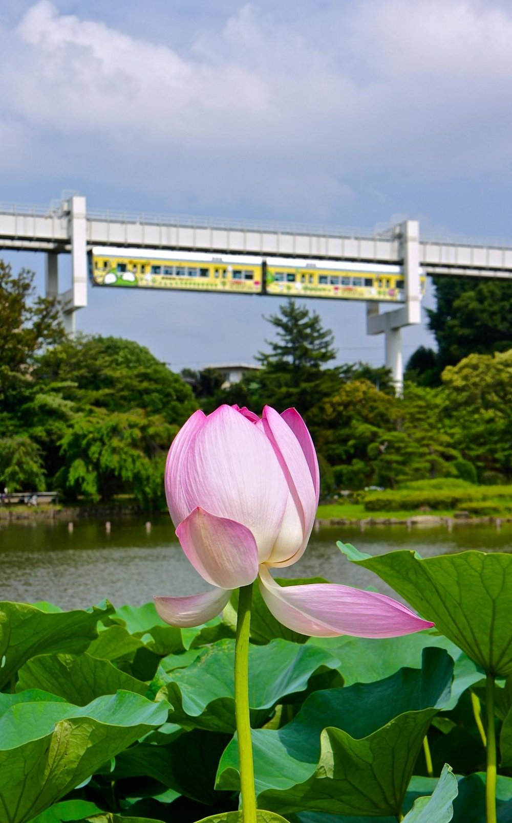 Lotus flowers on backdrop of a passing monorail